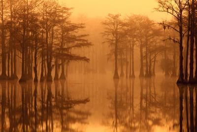 Georgia, Fall Cypress Trees in the Fog at George Smith State Park