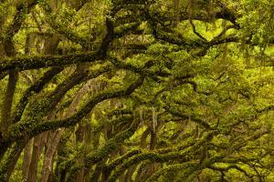 Georgia, Savannah, Oaks Covered in Moss at Wormsloe Plantation by Joanne Wells