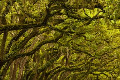 Georgia, Savannah, Oaks Covered in Moss at Wormsloe Plantation
