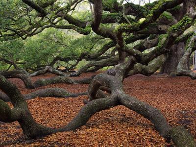 Historic Angel Oak Tree, Charleston, South Carolina, Usa