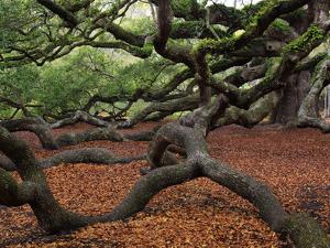 Historic Angel Oak Tree, Charleston, South Carolina, Usa by Joanne Wells
