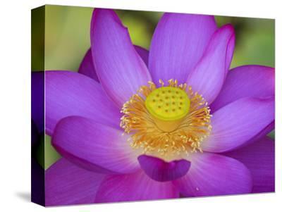 Lotus Bloom in the Summer, North Carolina, Usa