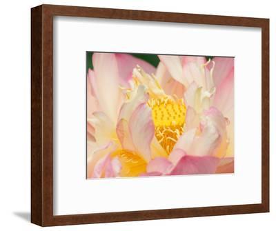 Lotus with Ruffled Petals, Perry's Water Garden, Franklin, North Carolina, USA