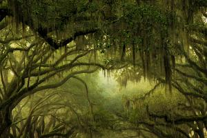 Oak Trees with Spanish Moss, Savannah, Georgia, USA by Joanne Wells