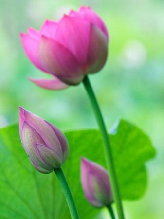 Perry's Water Garden, Lotus Bloom and Buds, Franklin, North Carolina, USA