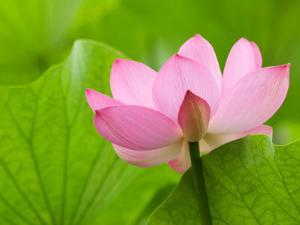 Perry's Water Garden, Lotus Bloom and Leaves, Franklin, North Carolina, USA by Joanne Wells