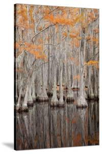 USA, George Smith State Park, Georgia. Fall cypress trees. by Joanne Wells