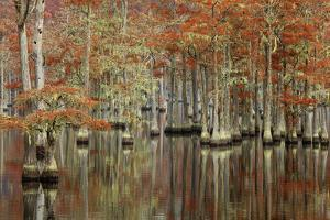 USA, Georgia, Cypress Swamp with Fall Reflections by Joanne Wells