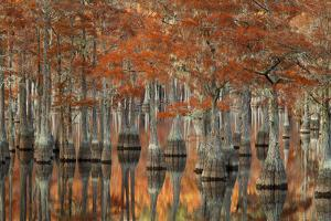 USA, Georgia, Fall Cypress Trees at George Smith State Park by Joanne Wells