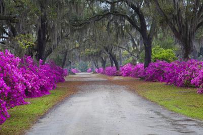 USA, Georgia, Savannah, Azaleas in Historic Bonaventure Cemetery