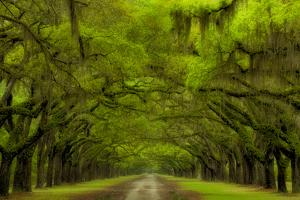USA, Georgia, Savannah, Drive at Historic Wormsloe Plantation by Joanne Wells