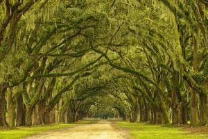 USA, Georgia, Savannah. Mile long oak drive by Joanne Wells