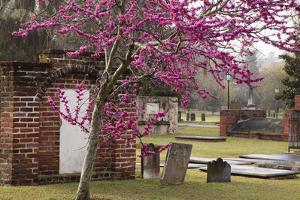 USA, Georgia, Savannah, Red Bud Tree in Colonial Park Cemetery by Joanne Wells