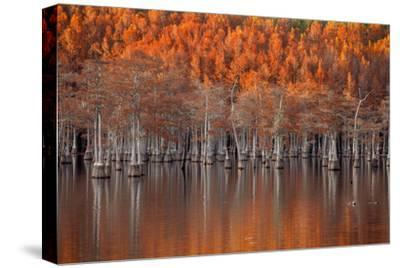 USA, Georgia, Twin City, Cypress trees in the fall at sunset.