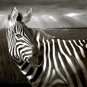 Black & White of Zebra and Plain, Kenya by Joanne Williams
