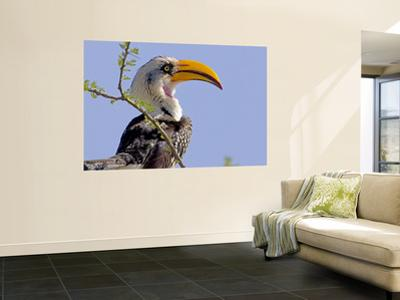 Profile of Yellow-Billed Hornbill Bird, Kenya