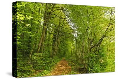 Beech Forest, Altmuehl Valley, Bavaria, Germany, Europe