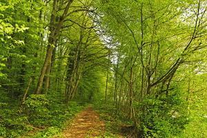Beech Forest, Altmuehl Valley, Bavaria, Germany, Europe by Jochen Schlenker