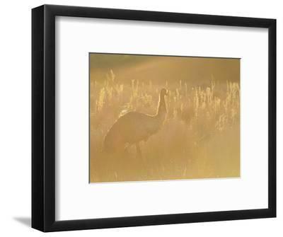 Emu, Wilsons Promontory National Park, Victoria, Australia, Pacific