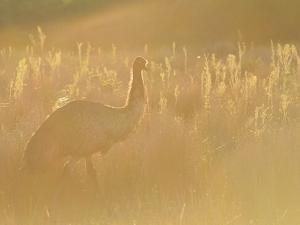Emu, Wilsons Promontory National Park, Victoria, Australia, Pacific by Jochen Schlenker