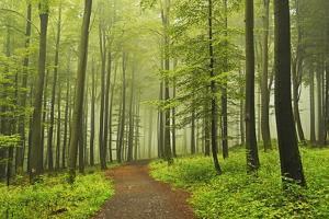 Morning Fog in Forest Near Bad Marienberg, Westerwald, Rhineland-Palatinate, Germany, Europe by Jochen Schlenker
