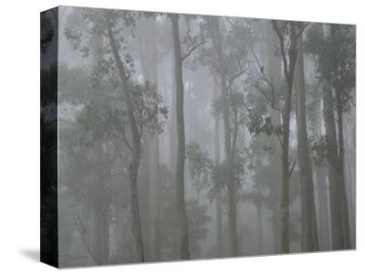 Mountain Ash Forest in Fog, Dandenong Ranges National Park, Dandenong Ranges, Victoria, Australia
