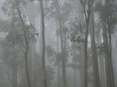 Mountain Ash Forest in Fog, Dandenong Ranges National Park, Dandenong Ranges, Victoria, Australia by Jochen Schlenker