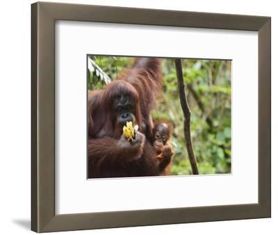 Orangutan (Pongo Borneo), Semenggoh Wildlife Reserve, Sarawak, Borneo, Malaysia