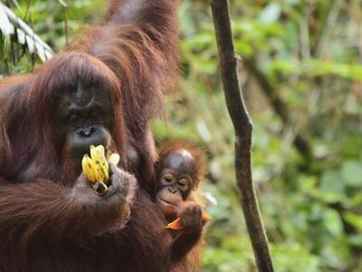 Orangutan (Pongo Borneo), Semenggoh Wildlife Reserve, Sarawak, Borneo, Malaysia by Jochen Schlenker