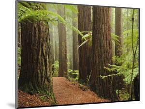 Redwoods and Tree Ferns, the Redwoods, Rotorua, Bay of Plenty, North Island, New Zealand, Pacific by Jochen Schlenker