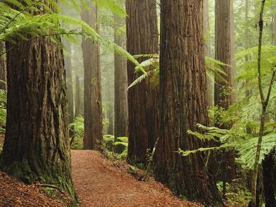 Redwoods and Tree Ferns, the Redwoods, Rotorua, Bay of Plenty, North Island, New Zealand, Pacific