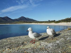 Seagulls, Wineglass Bay, Freycinet National Park, Freycinet Peninsula, Tasmania, Australia, Pacific by Jochen Schlenker