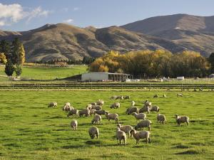 Sheep on Farmland, Near Tarras, Otago, South Island, New Zealand, Pacific by Jochen Schlenker