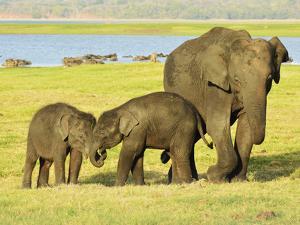 Sri Lankan Elephant (Elephas Maximus Maximus), Minneriya National Park, Sri Lanka, Asia by Jochen Schlenker