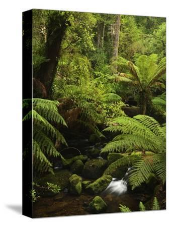 Stream and Tree Ferns, Mount Field National Park, UNESCO World Heritage Site, Tasmania, Australia