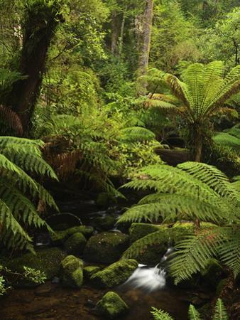 Stream and Tree Ferns, Mount Field National Park, UNESCO World Heritage Site, Tasmania, Australia by Jochen Schlenker