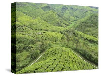 Tea Plantation, Cameron Highlands, Perak, Malaysia, Southeast Asia, Asia
