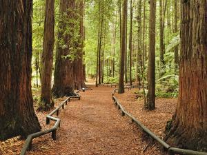 Walkway, the Redwoods, Rotorua, Bay of Plenty, North Island, New Zealand, Pacific by Jochen Schlenker