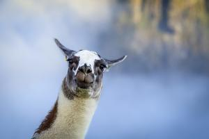 Alpaca In Machu Picchu, Peru by Joe Azure
