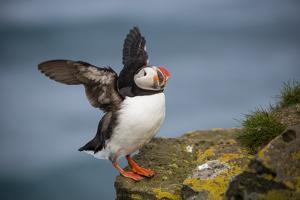 Puffins Up Close Atop The Cliffs In Western Iceland by Joe Azure