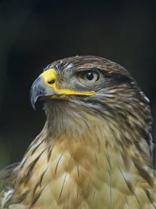 Ferruginous Hawk Head, Buteo Regalis, Southwestern USA by Joe & Mary Ann McDonald