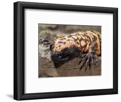 Gila Monster (Heloderma Suspectum), USA