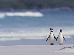 Magellanic Penguin Couple, Spheniscus Magellanicus, Falkland Islands by Joe & Mary Ann McDonald