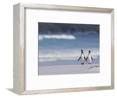 Magellanic Penguin Couple, Spheniscus Magellanicus, Falkland Islands