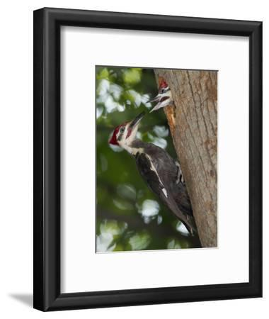 Pileated Woodpecker, Pennsylvania, USA