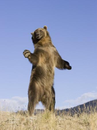 A Grizzly Bear Standing, Ursus Arctos, North America by Joe McDonald