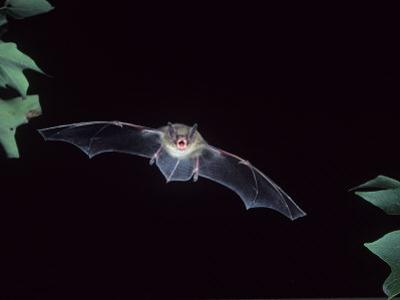 A Little Brown Bat in Flight Echolocating at Night, Myotis Lucifugus, North America