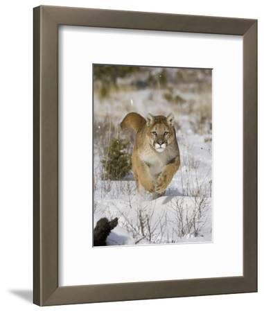 A Puma, Cougar or Mountain Lion, Running Through the Snow, Felis Concolor, North America