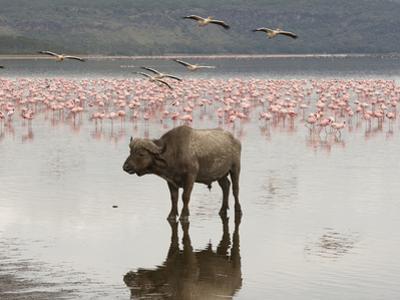 African Buffalo (Syncerus Caffer) Standing in the Water at Lake Nakuru, Samburu, Kenya by Joe McDonald