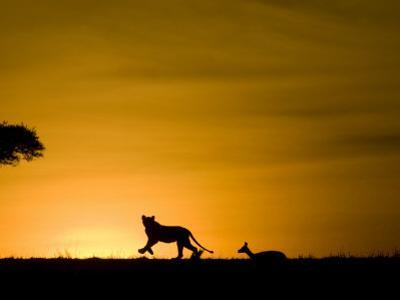 African Lion Chasing Gazelle, Masai Mara, Kenya by Joe McDonald